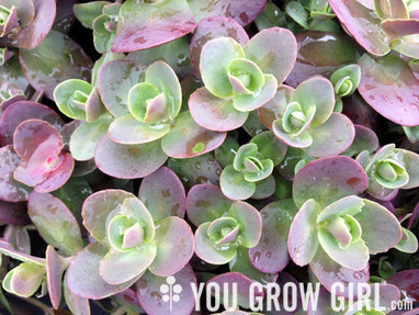 6 Hardy Succulent Sedums for Your Garden and Pots | Gardening Inspiration and Information | Scoop.it