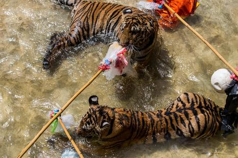 TIGER TEMPLE OBSERVATIONS | Facebook | Tiger Tourism - Don't Pay to Play | Scoop.it