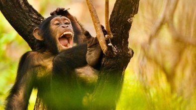 Apes are emotional about choices | animals and prosocial capacities | Scoop.it