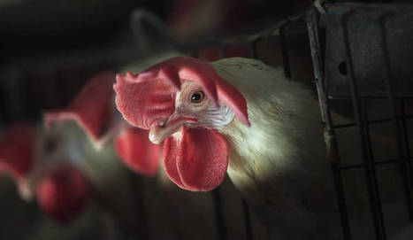 Daily Maverick - No Sign Of Human Transmission In New Bird Flu Appearance-WHO | Virology News | Scoop.it