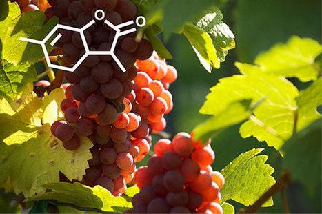 L'origine dévoilée de la lactone du vin, un arôme typique des vins de Gewurztraminer | Le Vin et + encore | Scoop.it