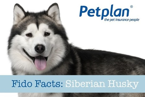 Fido Facts: Siberian Husky | Petplan Blog | Pet Insurance | Scoop.it