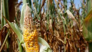 US Drought Impacts Global Food Security | Food Security | Scoop.it