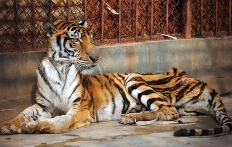 En Chine, des criminels détournent la loi en affamant des tigres jusqu'à leur mort afin de produire du vin   earthmergency   Scoop.it