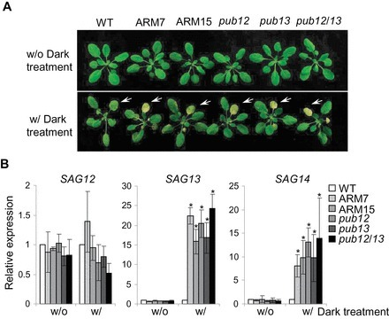 The dominant negative ARM domain uncovers multiple functions of PUB13 in Arabidopsis immunity, flowering, and senescence | PlantBioInnovation | Scoop.it