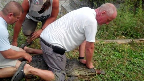 Saving Crocodiles with the Wildlife Emergency Response Team (WERT) and the American Crocodile Education Sanctuary (ACES) in Belize | Bird Watching & Conservation In Belize | Scoop.it