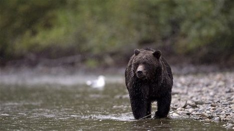 La fin de la chasse aux grizzlys en forêt pluviale coûtera des millions de dollars ... | Biodiversité | Scoop.it