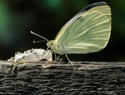 Zoologger: The butterfly that sleeps its way to safety - life - 12 January 2011 - New Scientist | Adaptive Design Capacity | Scoop.it