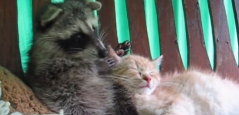 VIDEO. L'amitié improbable entre un chaton et un raton laveur | Mr. Animo | Scoop.it