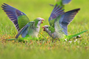 Monk parakeets use mental math to find their place in pecking order | Instruction & Curriculum (& a bit of Common Core) | Scoop.it