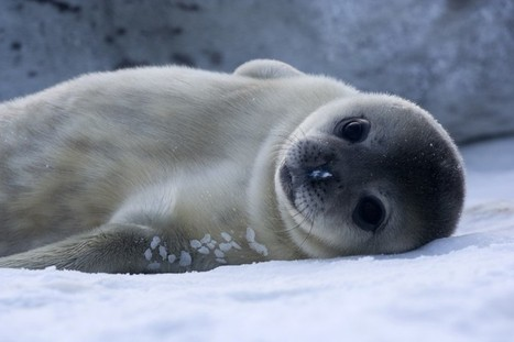 Victory: China Drops Canadian Seal Meat Trade Deal Over Cruelty Concerns | The Peoples News | Scoop.it