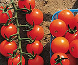Searching for sweet cherry tomatoes - Garden Making | Annie Haven | Haven Brand | Scoop.it
