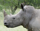 Mark Knopfler Pleads For Saving the Rhino | What's Happening to Africa's Rhino? | Scoop.it