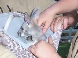 Success: Mittens Donated for Burned Koalas | GarryRogers NatCon News | Scoop.it