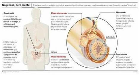 Un segundo cerebro funciona en el abdomen y regula las emociones | Lazer, Ambiente e Saúde | Scoop.it