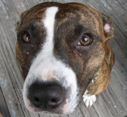 Could the Pink Spot on My Dog's Nose be Lupus? | i Love Dogs | The DIY Veterinarian | Scoop.it
