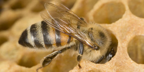 Pesticides : pitié pour les abeilles ! - Le Monde   Abeilles, intoxications et informations   Scoop.it