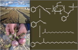 Bioactive maca (Lepidium meyenii) alkamides are a result of traditional Andean postharvest drying practices | science books, science magazine, science articles | Scoop.it