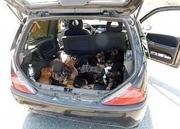Undici cuccioli di cane nel bagagliaio di un'auto - La Repubblica Torino.it | Oltre il Cuore di Lucilla News | Scoop.it