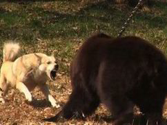 SHOCKING VIDEO: Dog v bear fights linked to Pedigree Chum owner | World | News | Daily Express | Pet Care tips | Scoop.it
