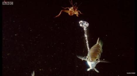 One shot, one kill. Le poisson archer crache sur ses proies pour les faire tomber dans l'eau   EntomoNews   Scoop.it
