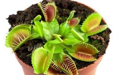 Венерина мухоловка в домашних условиях | Биология | Scoop.it