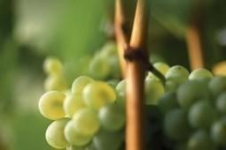 Dall'Alto Adige arriva il calice di Sauvignon Blanc | Vivere Turismo | Vivere Turismo | Scoop.it