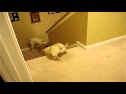 Dog Teaches Pup/Cat Teaches Kitten To Go Down Stairs: Best Quality | Videos that make you laugh and cry | Scoop.it