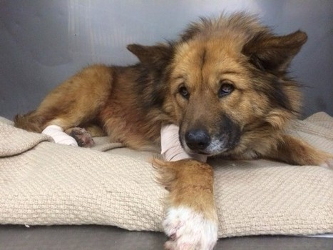 Crowdfunding Saves Dog Who Was Shot Defending Her Family | Crowdfunding Happenings | Scoop.it