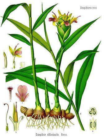 L'huile essentielle de gingembre | Huiles essentielles HE | Scoop.it