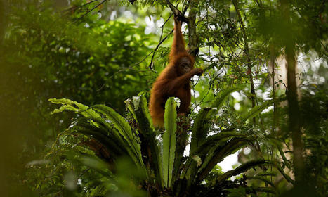 In Borneo's Forests, Impacts and Opportunities | Stories | WWF | Helping Wildlife Conservation Through Art | Scoop.it