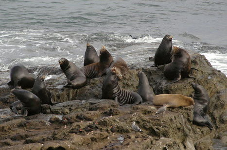 #Sealions haul out at Simpson Reef. Is it #Oregon's best #wildlife spectacle? (poll) ~ | Rescue our Ocean's & it's species from Man's Pollution! | Scoop.it