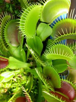 Мухоловка (венерина мухоловка) - Комнатные цветы и растения | Биология | Scoop.it
