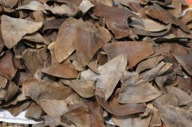 Costa Rica tightens ban on shark fins - AFP | News from the Spanish-speaking World | Scoop.it