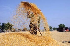 India: Take up maize cultivation for diversification: Agri experts | MAIZE | Scoop.it