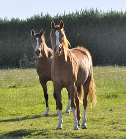 Start early to prevent equine arthritis, researchers say - Lameness, Research - Horsetalk.co.nz | all things horsey | Scoop.it