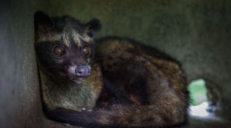 Caged Civet Coffee Tourism on the Rise in Bali, Says World Animal Protection | Coffee News | Scoop.it