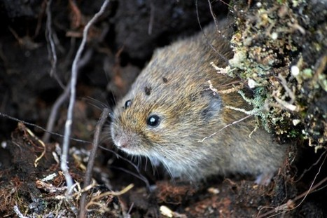 An Amateur Guide to Vole ID - Conservation Articles & Blogs - CJ   Wildlife and Conservation   Scoop.it