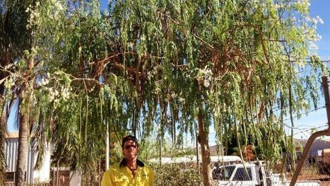 A moringa tree from AAC's trial oilseed crop | Moringa - Eco Friendly | Scoop.it