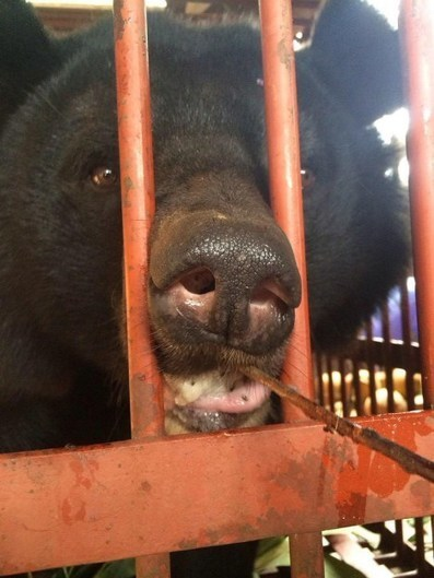 Viet Nam:  Ex Bile Bears Finally Arrive At 'Animals Asia' Sanctuary After Epic 4 Day Road Trip.  See The Stories and Pictures Here.  Congratulations to Jill and All The Crew At AA. | GarryRogers NatCon News | Scoop.it