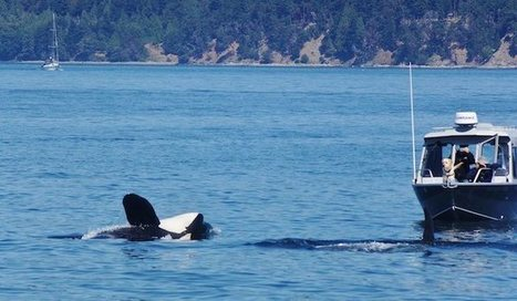 Dog's Thrilling Orca Encounter Caught On Film | Orca Whales in the Wild | Scoop.it