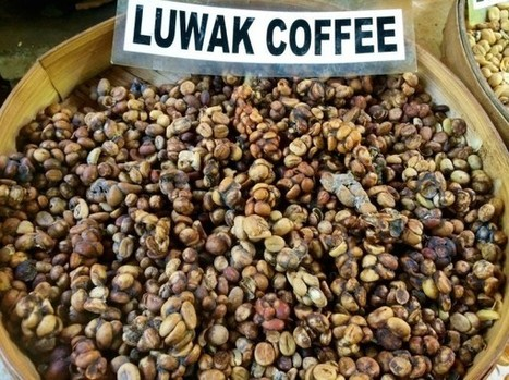 Certifiers Shutting Out Producers Using Caged Civets for Kopi Luwak | Coffee News | Scoop.it