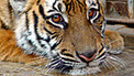 Could Africa save China's tigers? | Wildlife Trafficking: Who Does it? Allows it? | Scoop.it