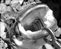 Llega la amenaza del siluro | 4ºB Plagas y especies invasoras en Extremadura | Scoop.it