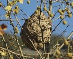 Abeilles : combattre le frelon asiatique | CRAKKS | Scoop.it
