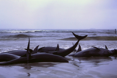 What is a Whale Stranding and Why Does it Happen? | All about water, the oceans, environmental issues | Scoop.it
