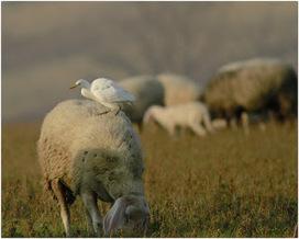 Pecore e aironi, Le Marche come l'Africa | Le Marche un'altra Italia | Scoop.it
