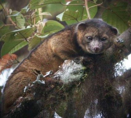 En image : olinguito, un nouveau mammifère carnivore découvert | Research and Higher Education in Europe and the world | Scoop.it