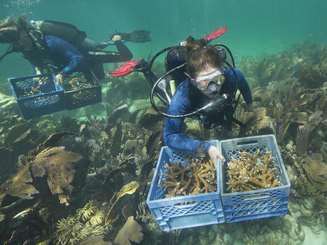 Divers Plant Staghorn Coral in Florida Keys | All about water, the oceans, environmental issues | Scoop.it