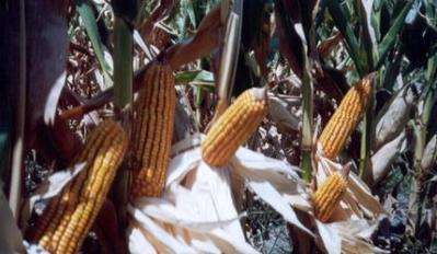 Fertilizando se pueden obtener 11000 kilos de maíz - ON24 | Ciencia | Scoop.it